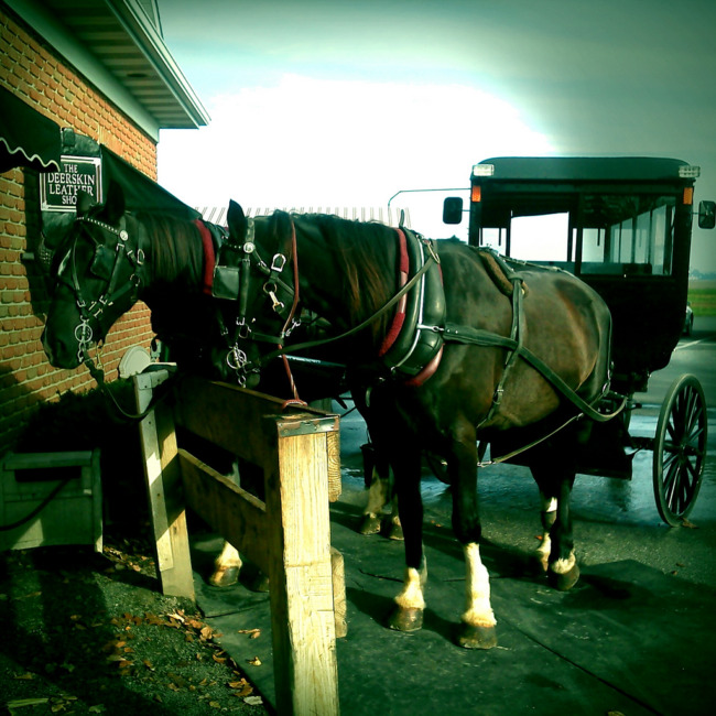 Amish Horses And Buggy