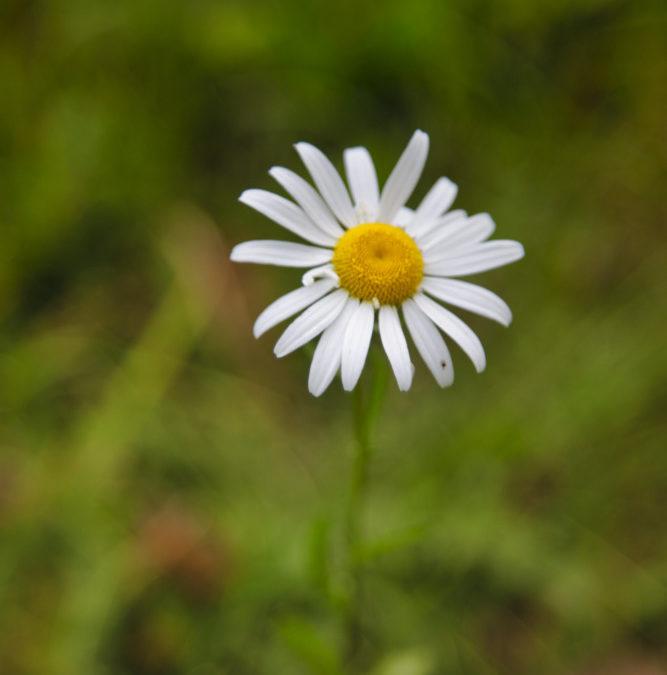 Daisy In Vermont