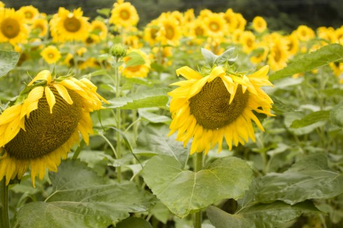 Field Of Sunflowers 1 of 3