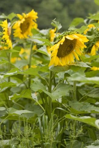 Field Of Sunflowers 2 of 3