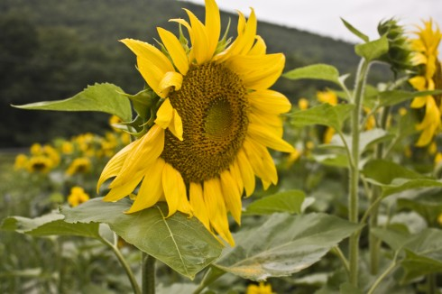 Field Of Sunflowers 3 of 3
