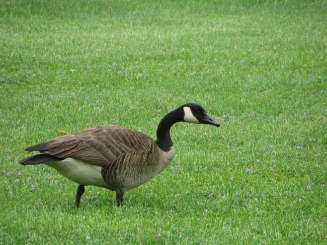 Goose On The Grass