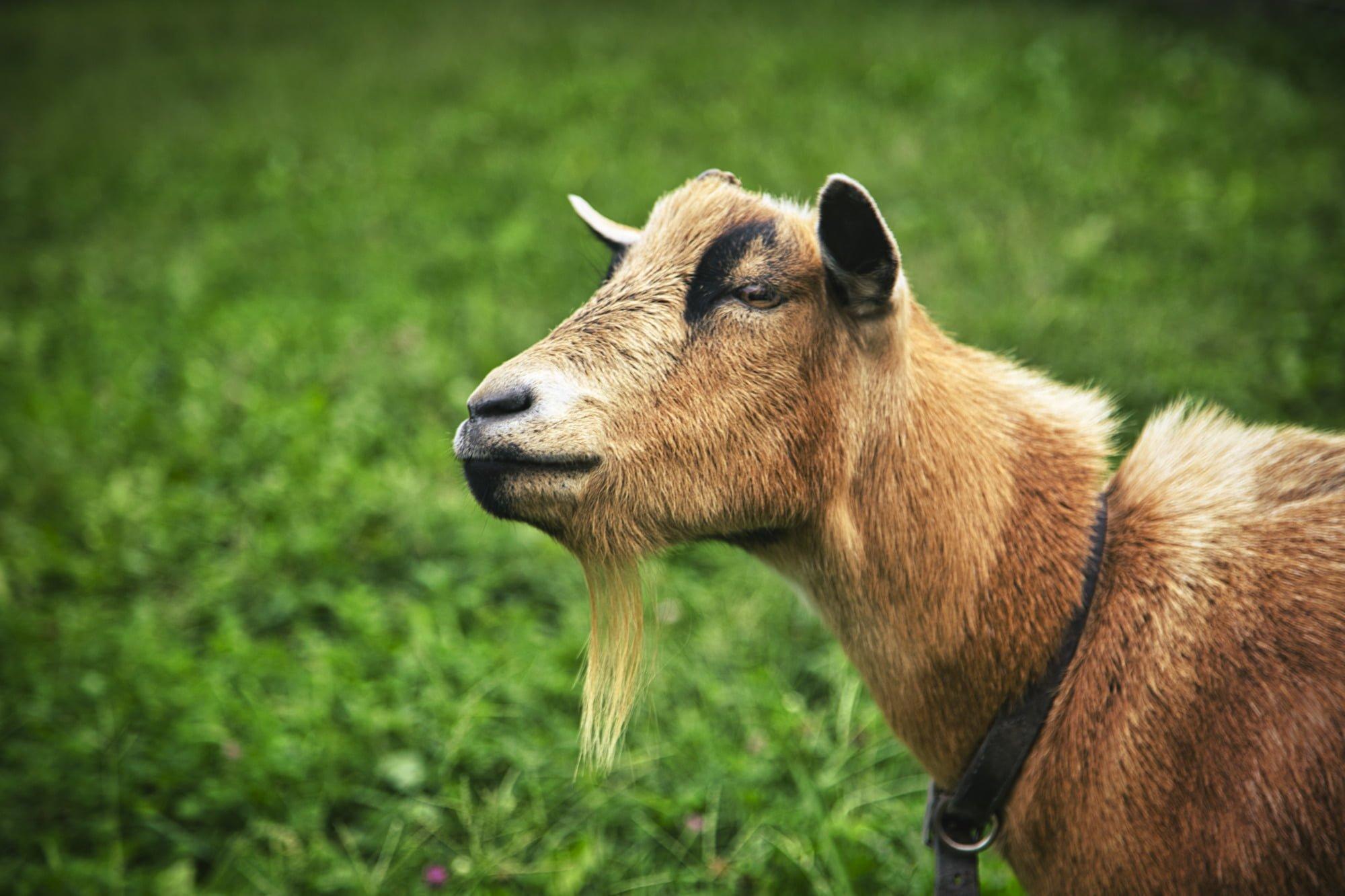 Humble Goat