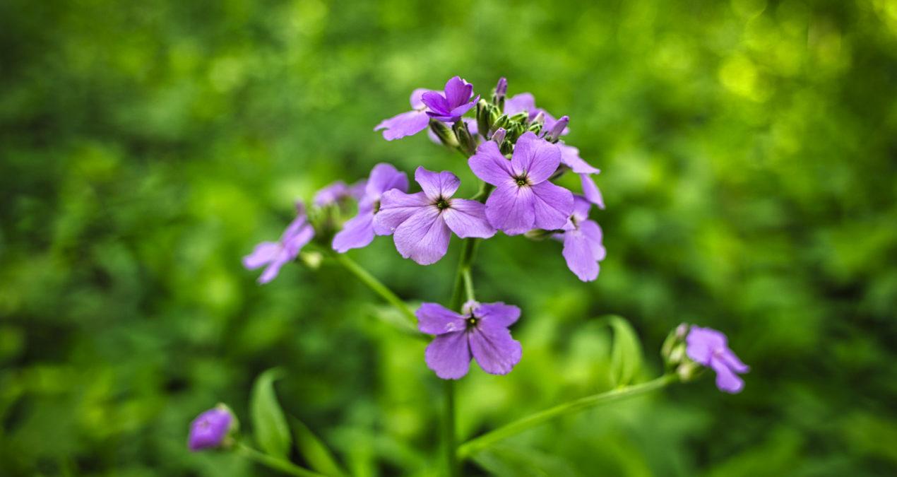 Hyacinthine