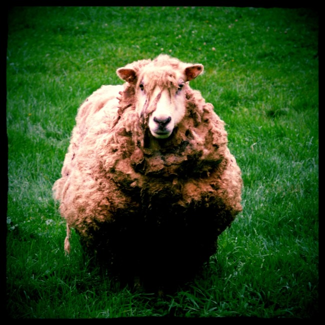 Sheep In Field (Edit)