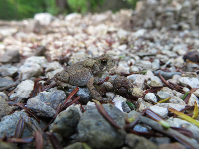 Toad In The Forest