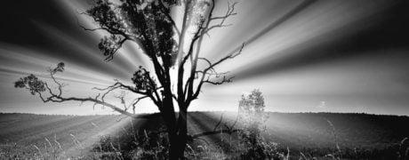 Big Tree At Dawn (Black And White Edit)