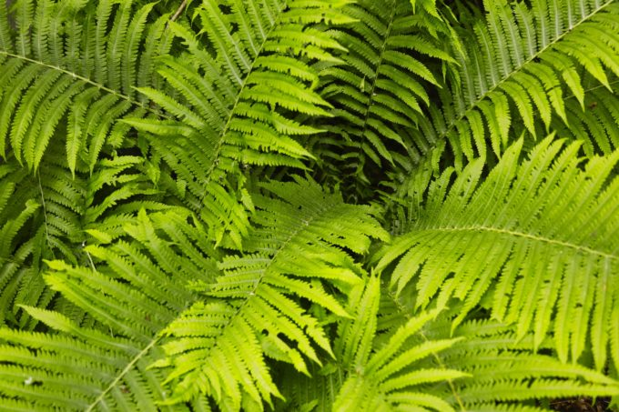 Cluster Of Ferns