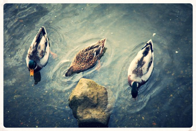 Ducks In The Water