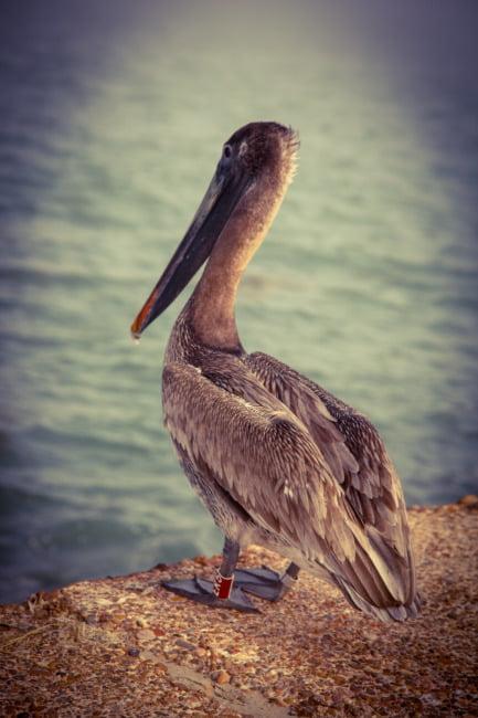 Humble Pelican