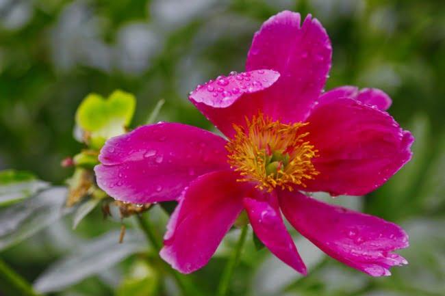 Little Pink Flower In The Rain