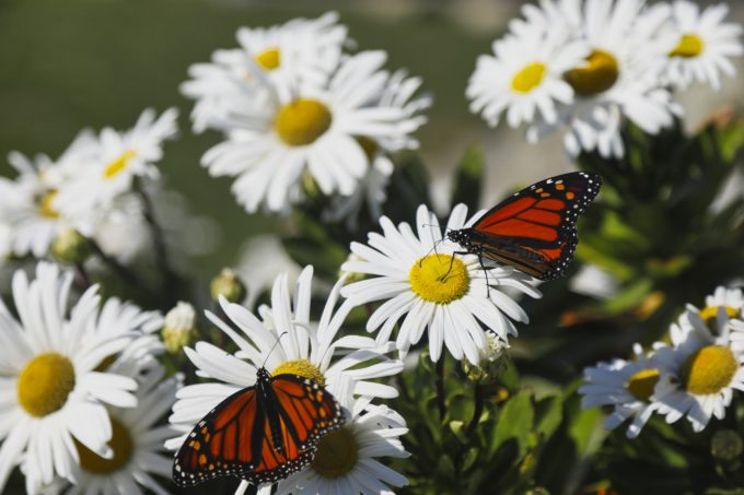 Planting Native Milkweed and Wildflowers to Help Monarch Butterflies Thrive