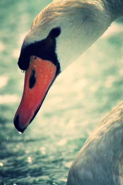 Swan (Edit)