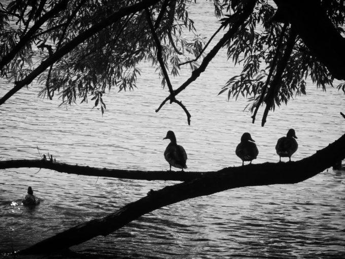 The Ducks Of Glimmerglass